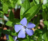 Periwinkle Herb Extract