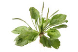 Plantain Leaf Extract - For Insect & Spider Bites, Dental Care, More!