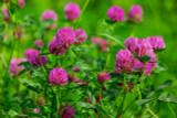 Red Clover Leaf & Flower Extract