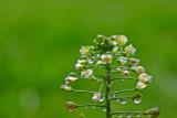 Shepherd's Purse Herb Extract