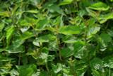 Stinging Nettle Leaf Extract