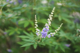 Vitex (Chaste Tree Berry) Extract