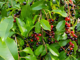 Wild Cherry Bark Extract