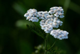 Yarrow Leaf & Flower Extract