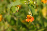Jewelweed Salve for Poison Ivy, Oak, Sumac