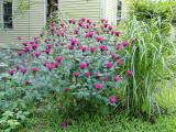 Monarda (Bee Balm, Sweet Leaf, Red Oswego) Extract