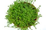 Bacopa monnieri (Brahmi) Herb Extract