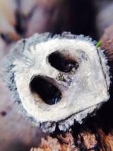 Black Walnut Hull Extract