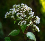 Boneset Herb Extract