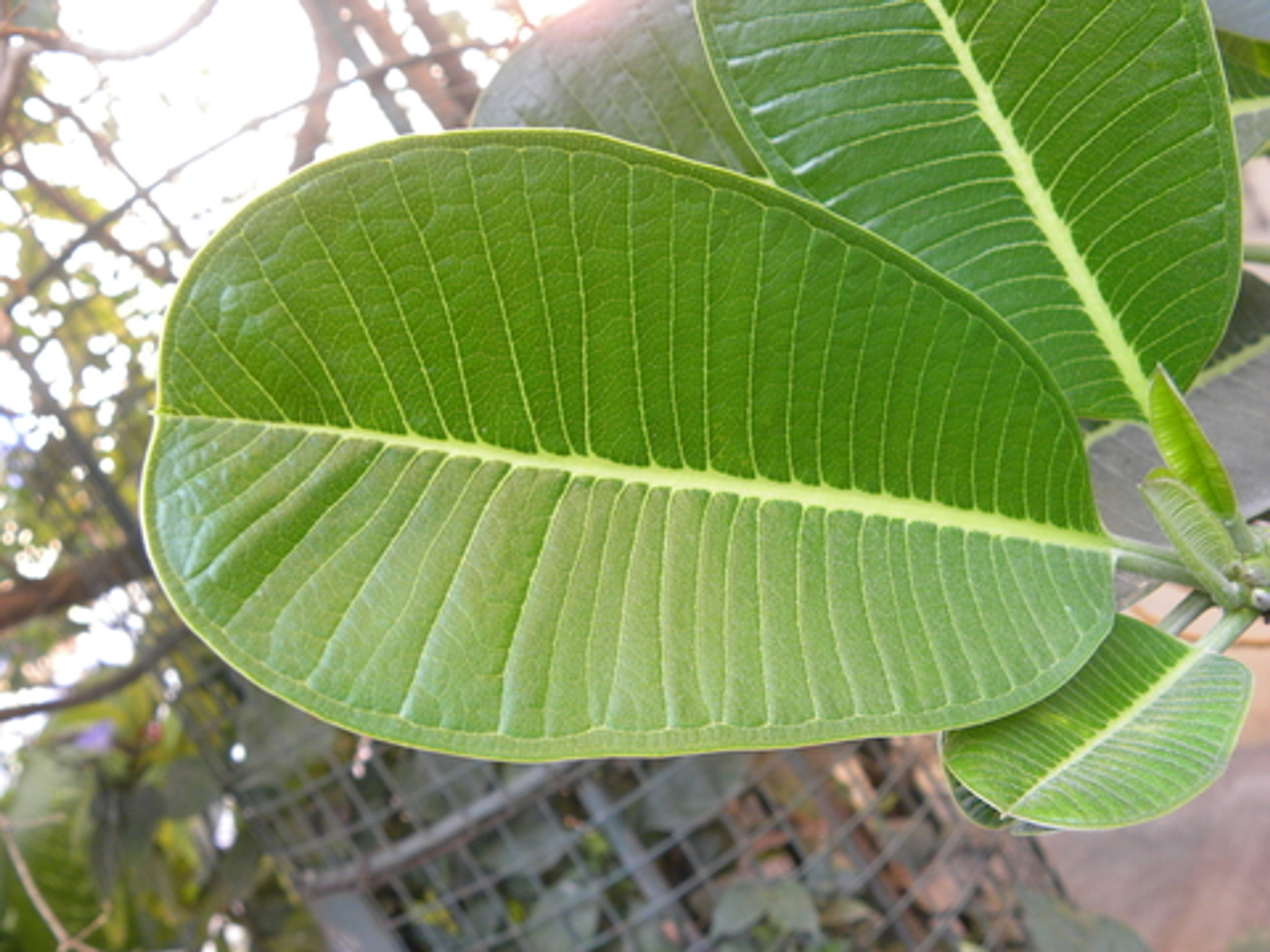 pterocarpus marsupium extract diabetes