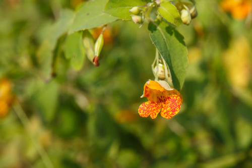 Jewelweed Salve for Poison Ivy, Oak, Sumac