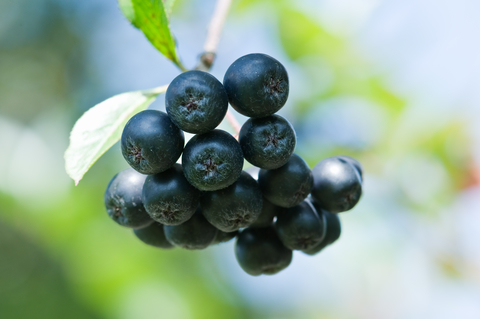 aronia-berry-dreamstime-xs-10726090.jpg