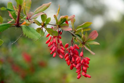 barberry-dreamstime-xs-59478059.jpg