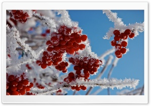 berries-in-winter-t1.jpg