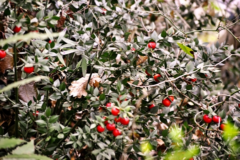 butchers-broom-dreamstime-xs-89085614.jpg