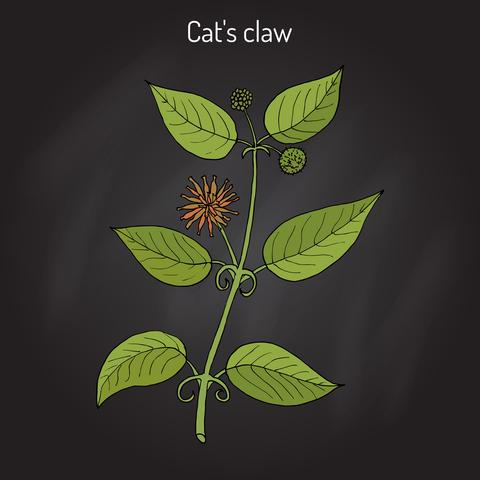 cat-s-claw-dreamstime-xs-89754443.jpg