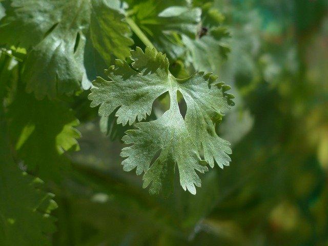 cilantro-real-coriander-115373-640.jpg