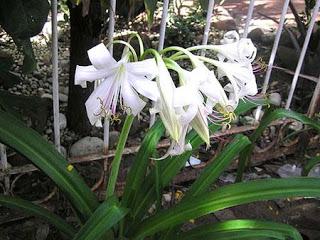 crinum-latifolium.jpg