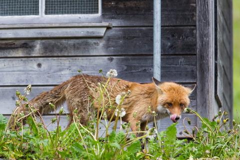 fox-hen-house-dreamstime-xs-92944036.jpg