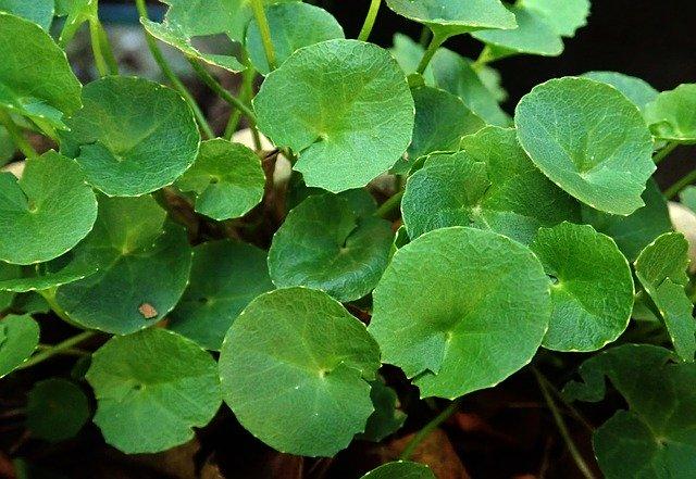 gotu-kola-herb-4033469-640.jpg