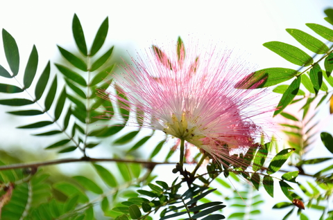 mimosa-flower-dreamstime-xs-66588083.jpg