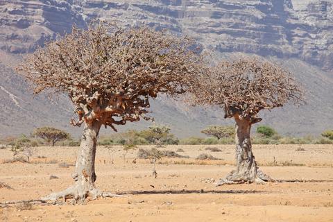 myrrh-trees.jpg