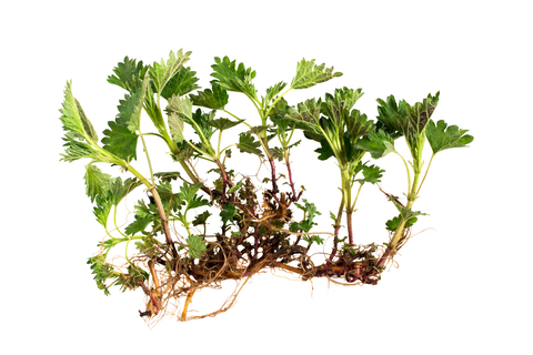 nettle-root-dreamstime-xs-136865292.jpg