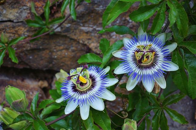 passionflower-1704206-640.jpg
