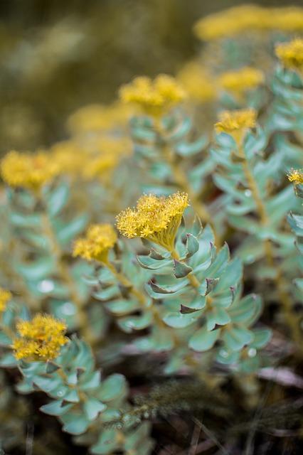 rhodiola-succulent-2412436-640.jpg