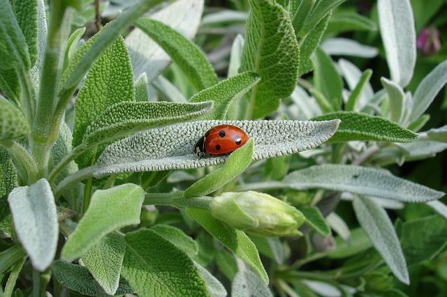 sage-ladybug-1428899-640.jpg