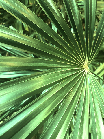 saw-palmetto-dreamstime-xs-139581676.jpg