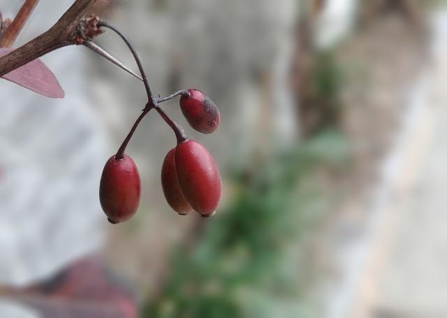schizandra-fruit-3699133-640.jpg