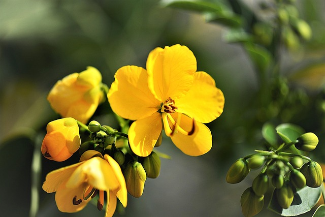 senna-plant-2703506-640.jpg