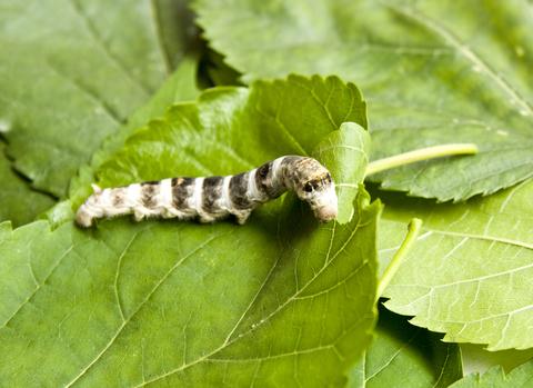silkworm-dreamstime-xs-14278293.jpg