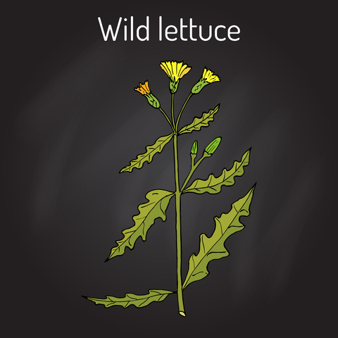 wild-lettuce-dreamstime-xs-89788403.jpg
