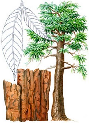 yohimbe-botanical.jpg
