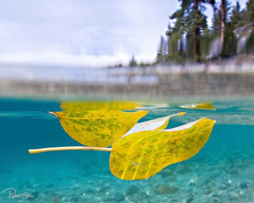 Fall Leaves Tahoe