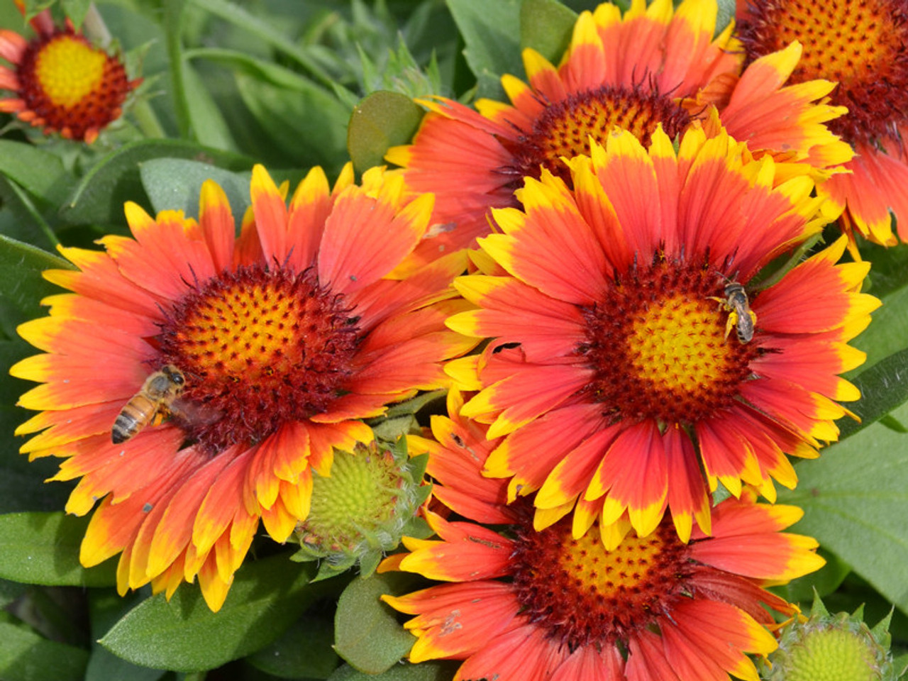 Blanket Flower Arizona Sun Gaillardia Jerry Anderberg Associates