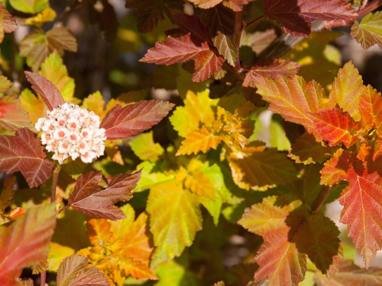 Ninebark Tree Amber Jubilee
