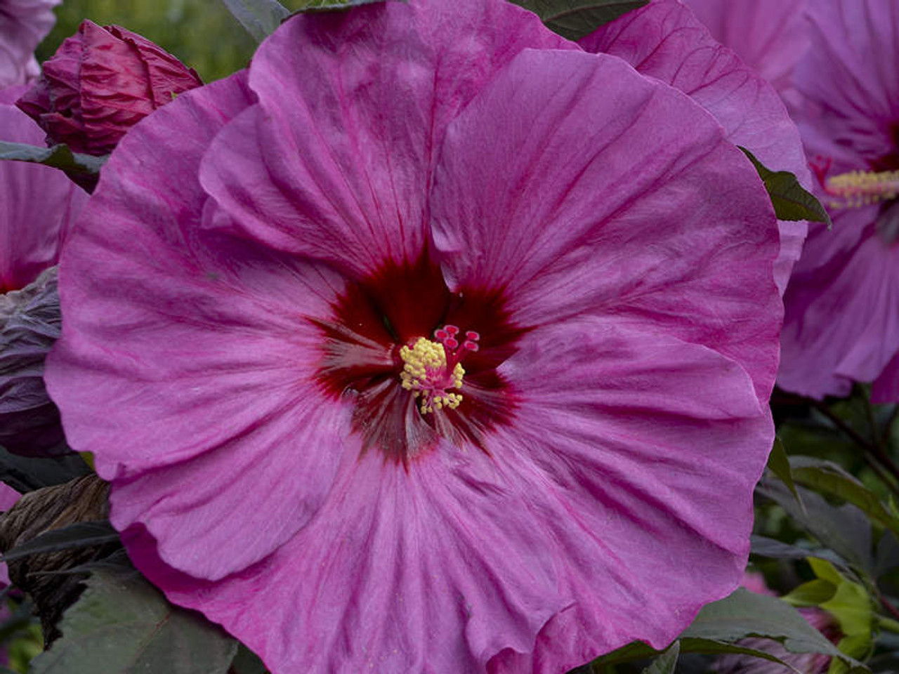 Hibiscus Berry Awesome Jerry Anderberg Associates