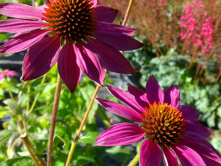 Purple Coneflower, Echinacea PowWow Wildberry