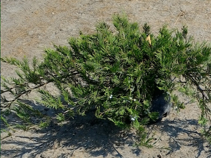 'Frank's' Horizonal Native Juniper