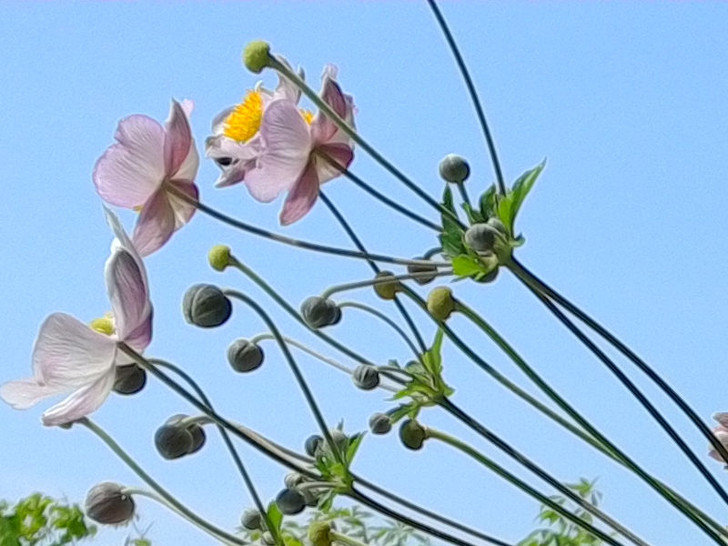 Anemone, Tomentosa Robustissima