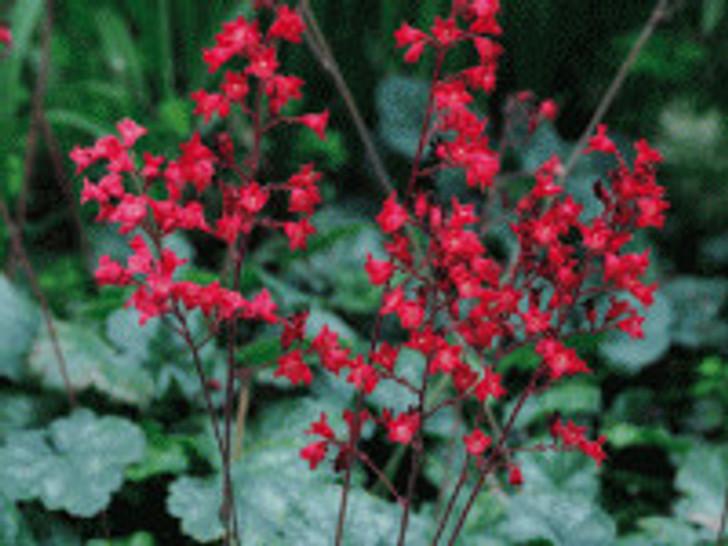 Heuchera - Coral Bells 'Coral Petite'