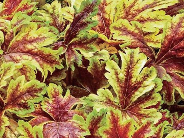 Heucherella 'Gold Zebra' Foamy Bells