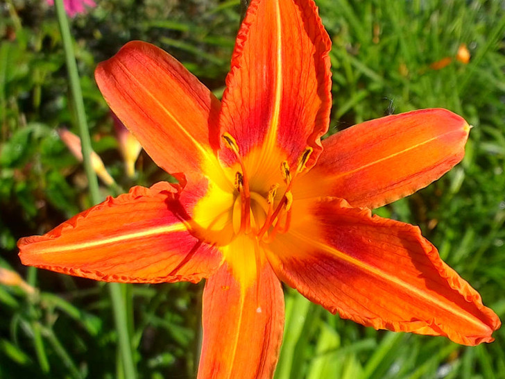 Hemerocalis - daylily - tall orange Image Jerry Anderberg & Associates. All rights reserved.