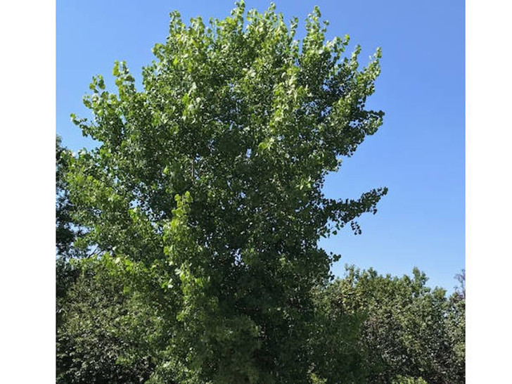Image Jerry Anderberg & Associates. All rights reserved. Populus sargentii 'Ulm' also Populus deltoides 'Ulm' Cottonless Plains Cottonwood.