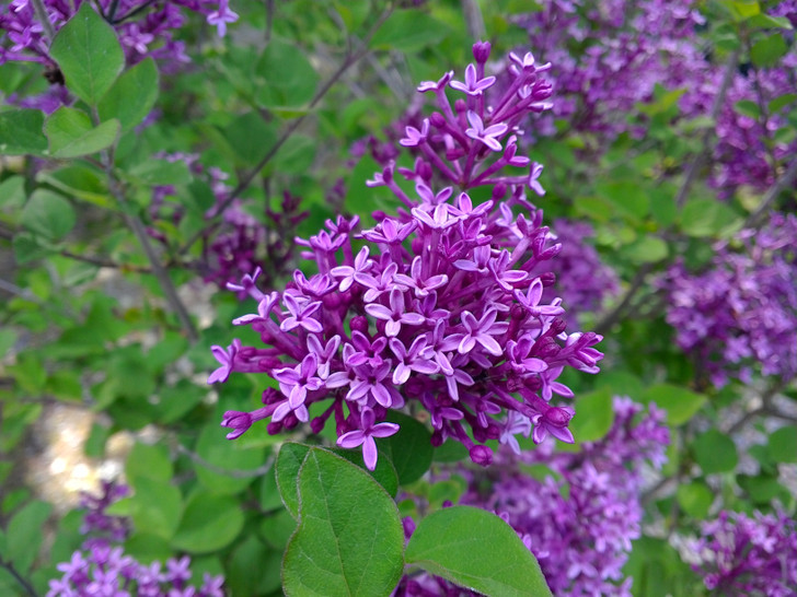 Bloomerang Dark Purple reblooming dwarf lilac Image Jerry Anderberg & Associates. All rights reserved.