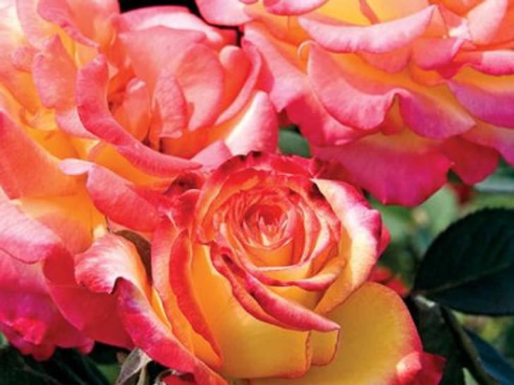 Image Courtesy Weeks Roses