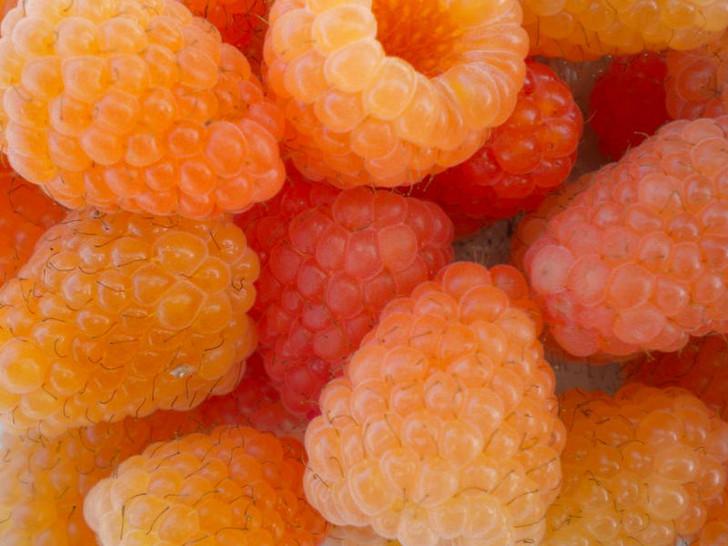 Raspberry, Honey Queen